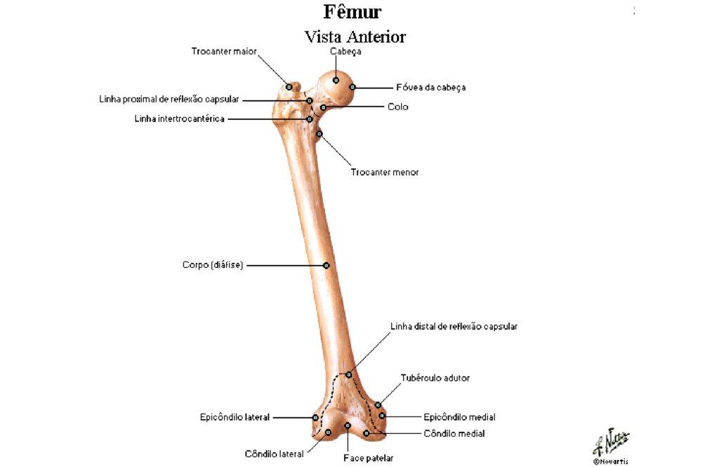 Osso Fêmur Anatomia Papel E Caneta