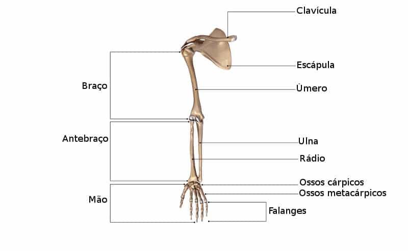 Esqueleto Apendicular Cranio Coluna Vertebral Costelas E Osso