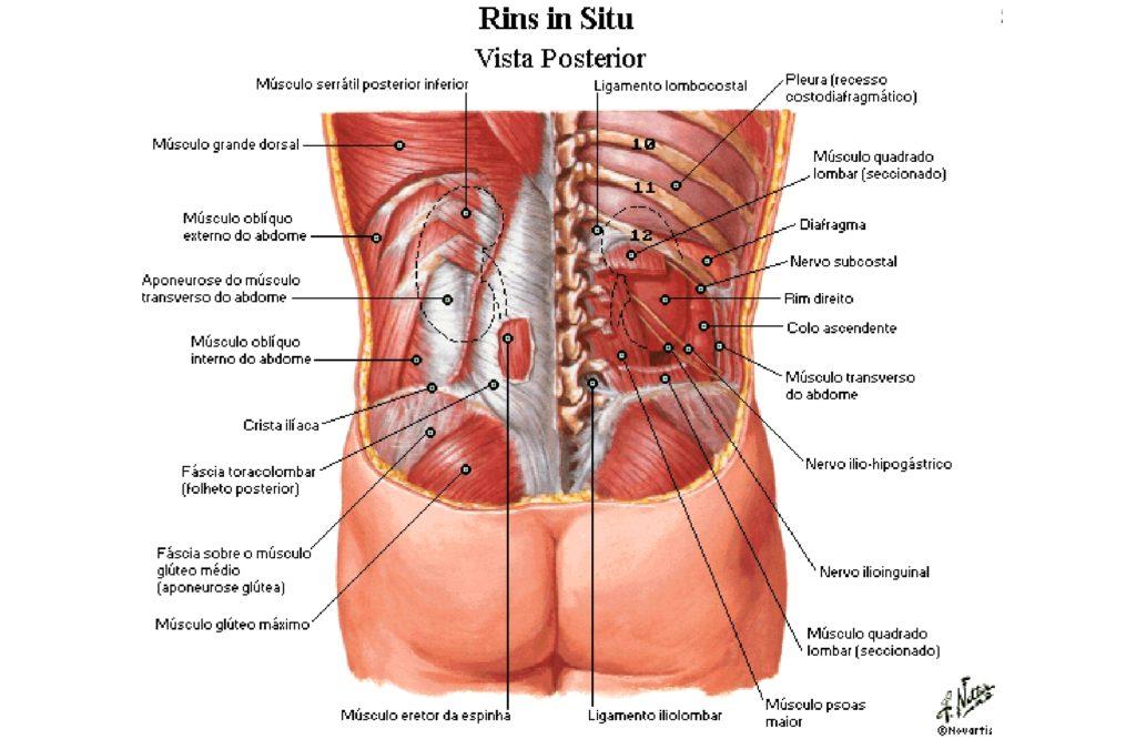 Sistema Urinário Anatomia Papel E Caneta
