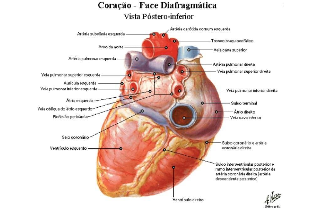 Coração Vasos Da Base Anatomia Papel E Caneta