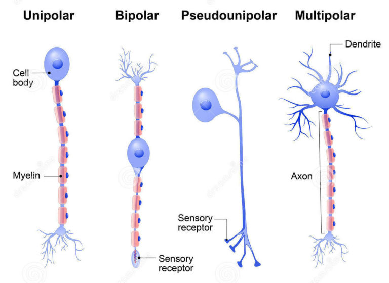 Sistema Nervoso Anatomia Papel E Caneta