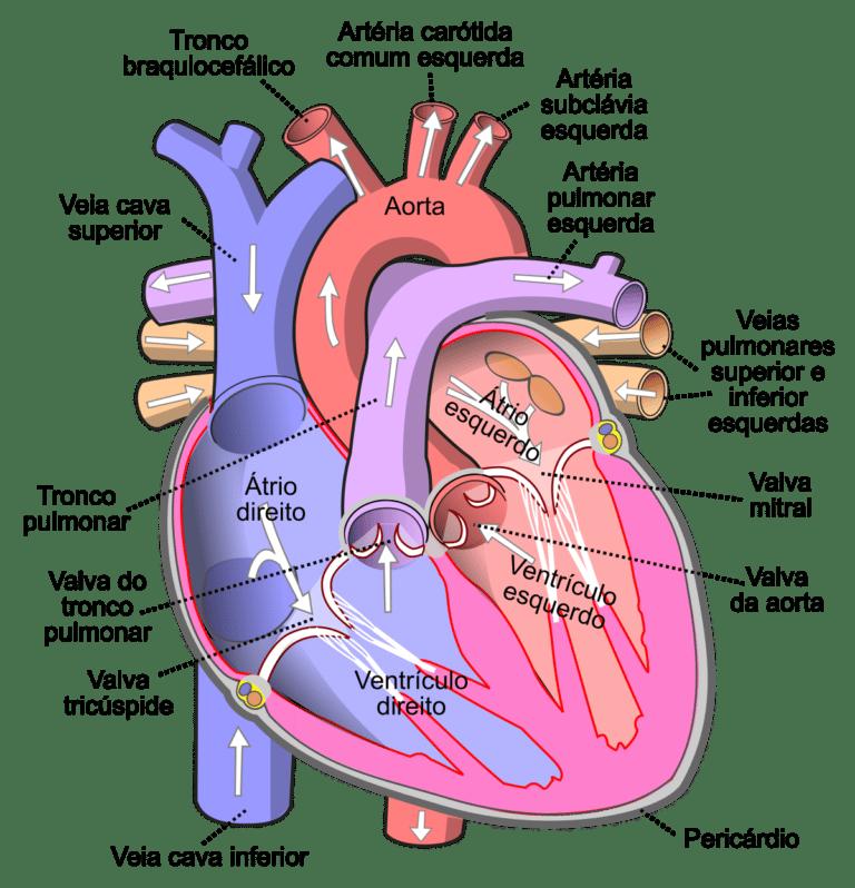 Coração Valvas Cardíacas Anatomia Papel E Caneta