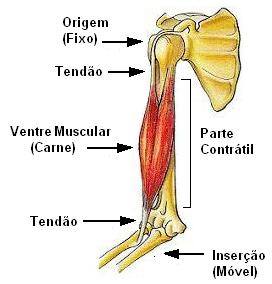 Sistema Muscular Anatomia Papel E Caneta