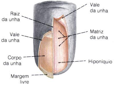 camadas da unha