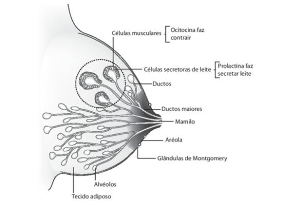 celulas da mama