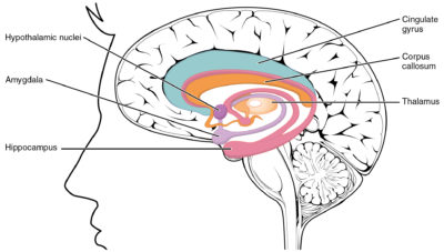 lobo limbico 2