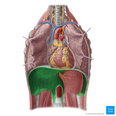 musculo diafragma