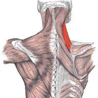 musculo levantador da escapula