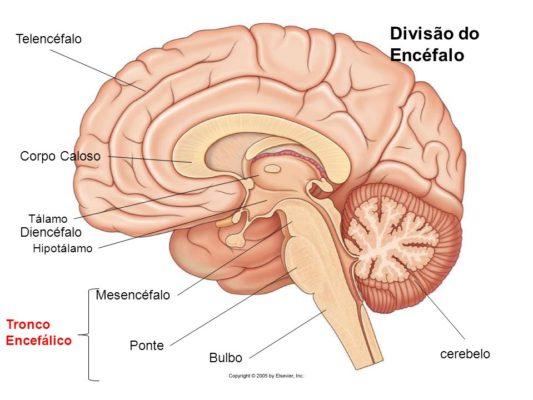 Tálamo. Diencéfalo. Hipotálamo. Mesencéfalo. Tronco Encefálico. Ponte. cerebelo. Bulbo.