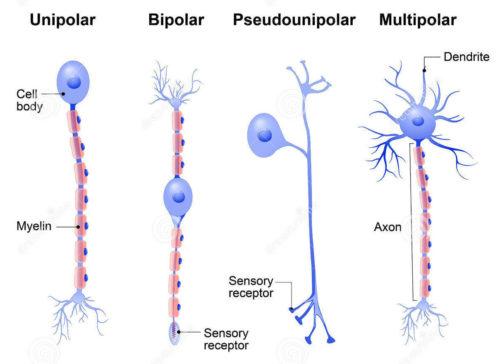 tipos de neuronios
